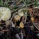 Image of <i>Chrysomphalina grossula</i> (Pers.) Norvell, Redhead & Ammirati 1994