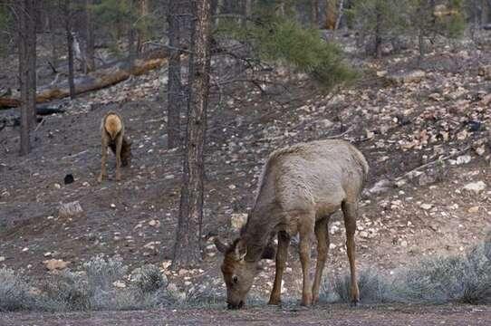 Image of deer, elk, moose, and caribou