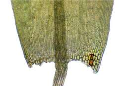 Image of warnstorfia moss