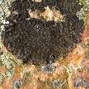 Image of <i>Melanelixia <i>fuliginosa</i></i> ssp. fuliginosa