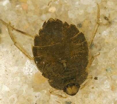 Image of Aphelocheiridae