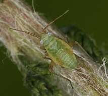 Image of Megalocoleus