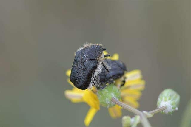 Image of Scarabaeoidea
