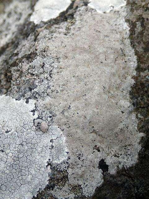 Imagem de Lecanoromycetes