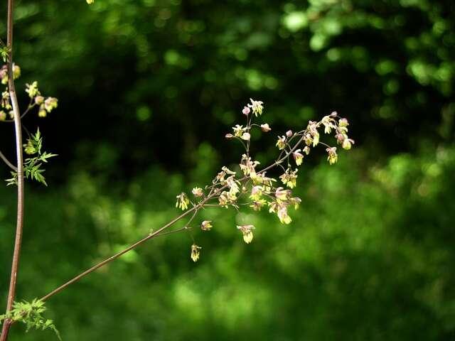 Image of <i>Thalictrum simplex</i> L.