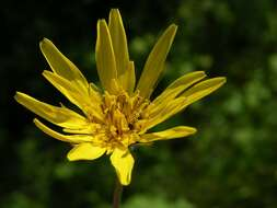 Image of <i>Tragopogon orientalis</i> L.