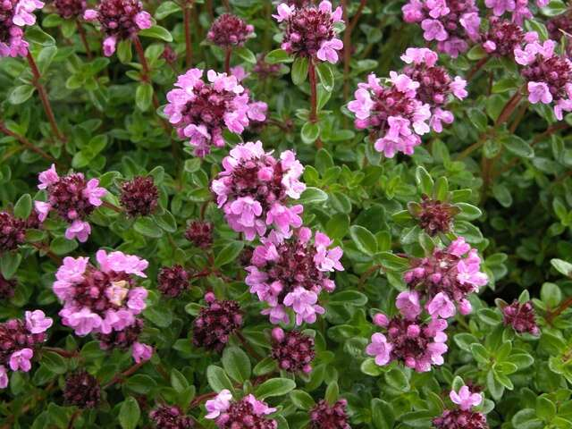 Image of thyme