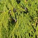 Image of Alaska-Cedar