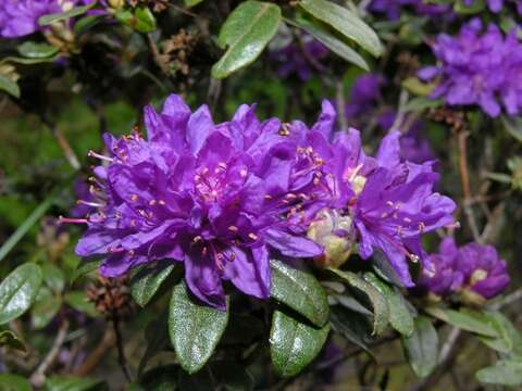 Image of <i>Rhododendron russatum</i> I. B. Balf. & Forrest