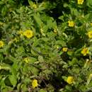 Image of Muskflower