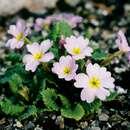 Image of <i>Primula juliae</i> Kusnez.