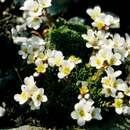 Image of <i>Saxifraga aretioides</i> Lapeyr.