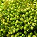 Image of anomodon moss