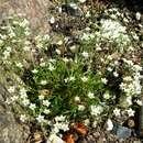 Image of <i>Sabulina <i>verna</i></i> ssp. verna