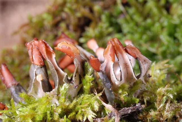 Image of Peltigerales