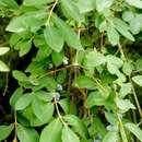 Image of <i>Lonicera <i>caerulea</i></i> ssp. caerulea