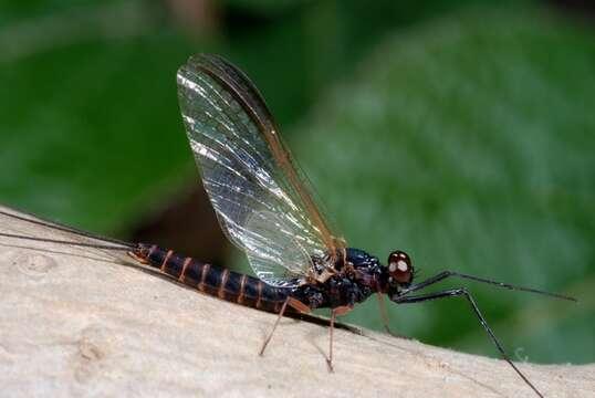 Image of Leptophlebia