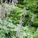 Image of <i>Aconitum <i>septentrionale</i></i> ssp. septentrionale
