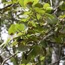 Image of <i>Populus</i> tremula × Populus <i>tremuloides</i>