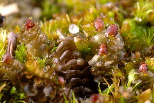 Image of liverworts