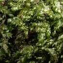 Image of <i>Plagiothecium curvifolium</i> Schliephacke ex Limpricht 1897