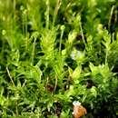 Image of aulacomnium moss
