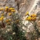 Image of <i>Helichrysum stoechas</i> ssp. <i>barrelieri</i> (Ten.) Nym.