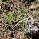 Image of <i>Knautia integrifolia</i> ssp. <i>mimica</i> (Borbás) Greuter
