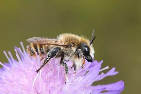 Image of Megachile