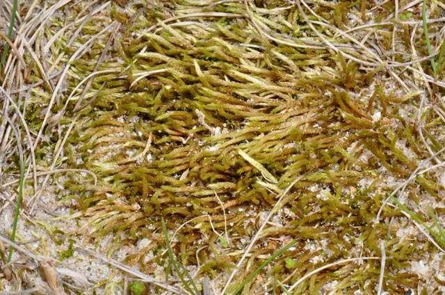 Image of True Mosses