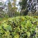 Image of arctic kidney lichen