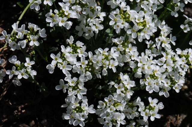 Image of pennycress