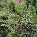 Image of <i>Juniperus <i>indica</i></i> var. indica