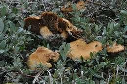 Image of Inocybaceae