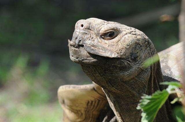 Image of spurred tortoise