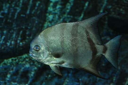 Image of Chaetodipterus