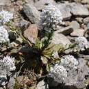 Image of <i>Noccaea bellidifolia</i> (Griseb.) F. K. Mey.