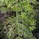 Image of <i>Asplenium daucifolium</i> Lam.