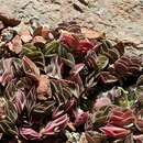 Image of <i>Callisia navicularis</i> (Ortgies) D. R. Hunt