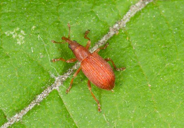 Image of straight-snouted weevils