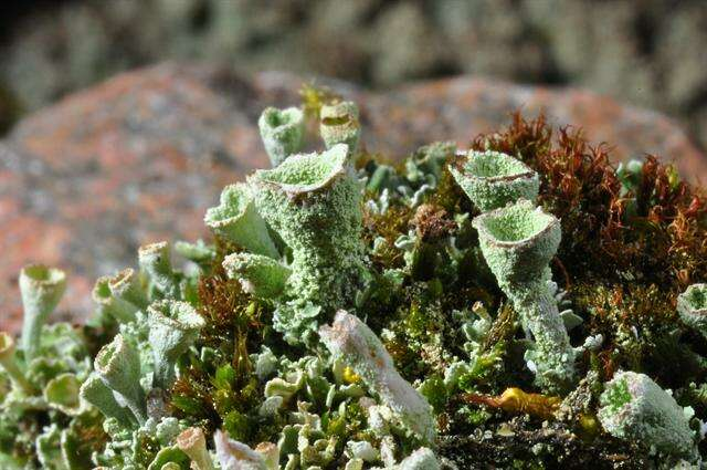 Image of cup lichen