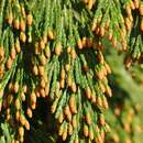 Image of California Incense-cedar