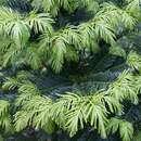 Image of <i>Cephalotaxus harringtonia</i>