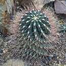 Image of <i>Hamatocactus hamatacanthus</i>