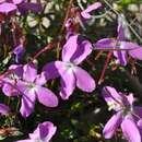Image of <i>Viola delphinantha</i> Boiss.
