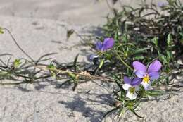 Image of <i>Viola tricolor</i> ssp. <i>curtisii</i> (E. Forster) Syme