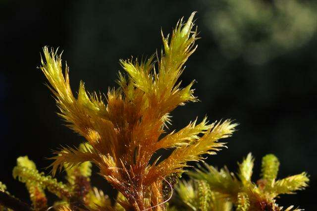 Image of Brachytheciaceae