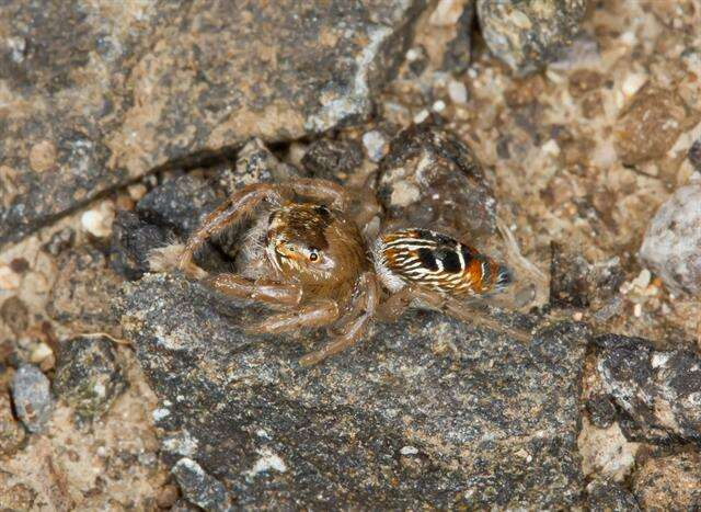 Image of jumping spiders