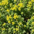Image of yellowtuft