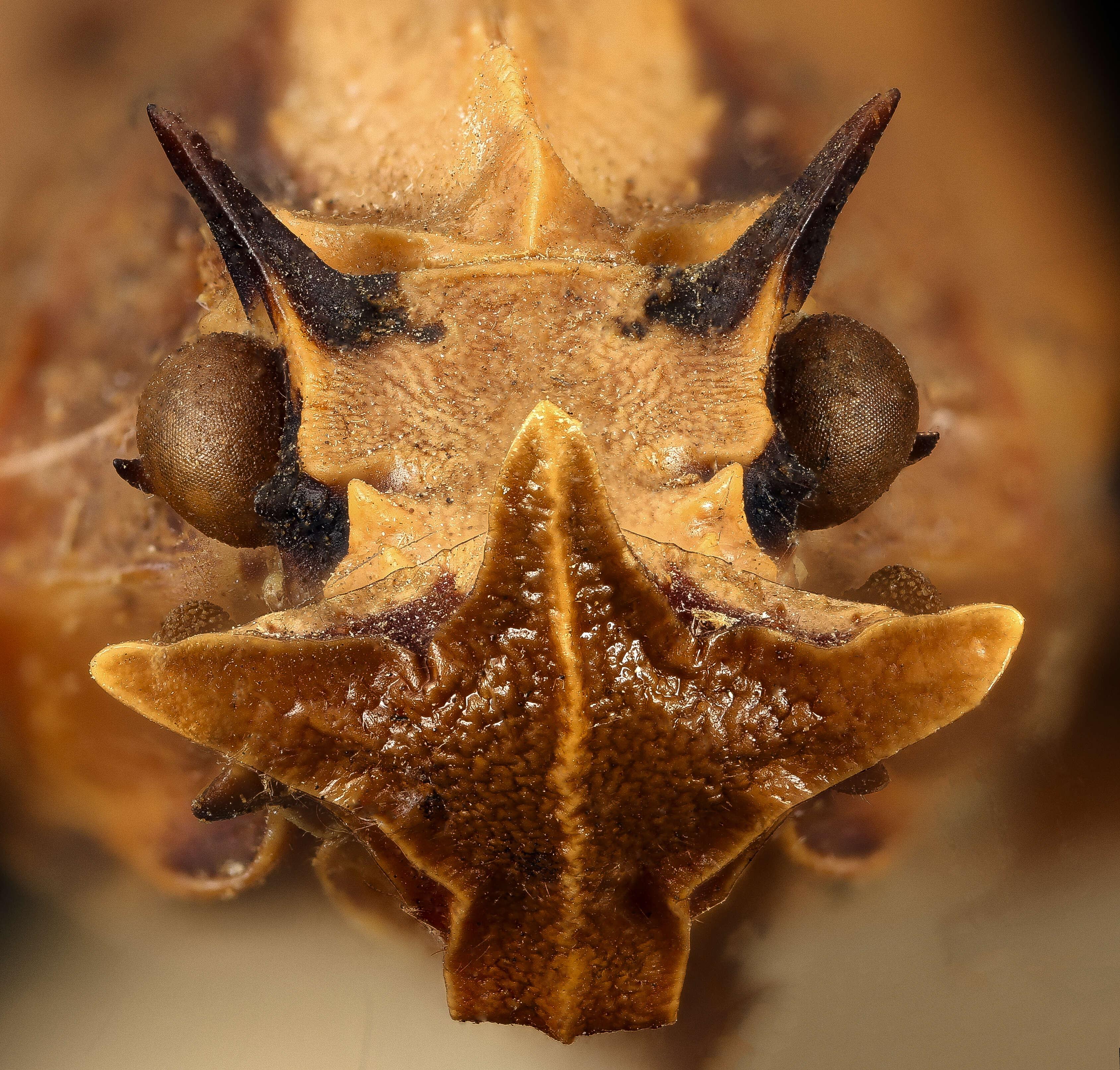 Image of Lanternflies